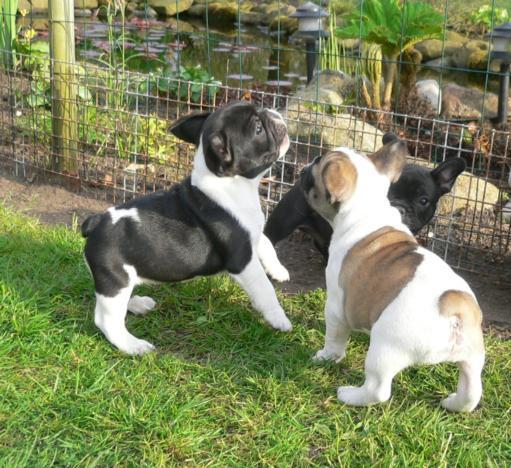 Pui De Bulldog Francez Vaccinati Campioni Nationali Anuntulro