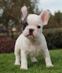 Adorabil Pui Bulldog Francez Trei Pui De Buldog Francez Anuntulro